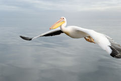 Flying Pelican Stock Image