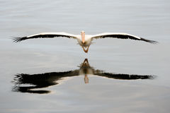 Flying Pelican. Great White Pelican flying close by Stock Image