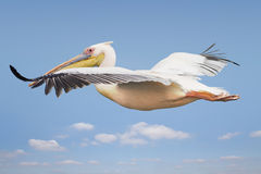 Flying pelican Royalty Free Stock Image