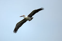 Flying  Pelican. Grey Pelican bird flying against the blue sky and watching Stock Image