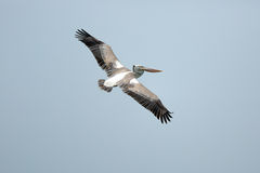 Flying pelican. Brown pelican bird flying against blue sky Royalty Free Stock Photos