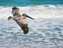 Flying pelican. 