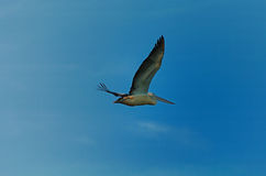 Flying pelican. A pelican gliding in the sky of williamstown in melbourne Royalty Free Stock Photos