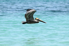 Free Flying Pelican Stock Image - 9203741