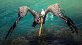 Flying Pelican royalty free stock photos
