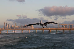 Flying pelican. At the background Surfers Paradise, QLD, Australia Stock Image