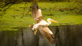 The Flying white Pelican  Royalty Free Stock Photography