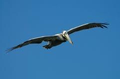 Flying Pelican stock photos