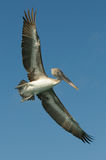 Flying pelican, los roques islands, venezuela Stock Photos