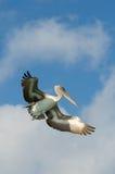 Flying pelican, los roques islands, venezuela Royalty Free Stock Image