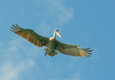 Flying pelican, los roques islands, venezuela Stock Images