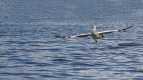 Flying pelican. At minneriya tank , Srilanka Royalty Free Stock Images