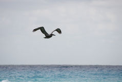 Flying pelican Royalty Free Stock Photography