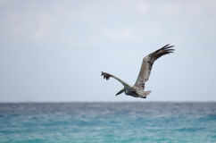 Flying pelican Royalty Free Stock Photo