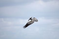 Flying pelican Stock Image