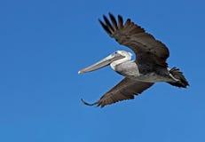 Flying pelican seen from below Stock Photo