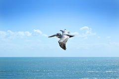 Flying Pelican Sky Ocean Florida Royalty Free Stock Image