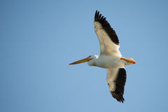 Flying Pelican. A pelican soaring through the wind Stock Image
