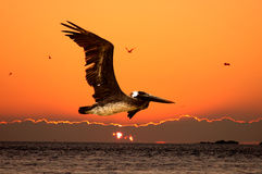 Flying Pelican. Sun setting into a cloud layer on the ocean and a foreground pelican flying by Royalty Free Stock Images
