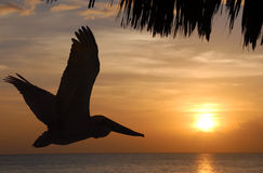 Flying pelican at sunset Royalty Free Stock Photo
