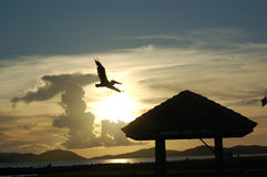 Flying Pelican at sunset. Soaring pelican looking for fish to dive on at dusk.  Virgin Gorda.  British Virgin Islands Royalty Free Stock Photos