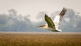 The Flying Pelican. The White Pelican flying over grassland royalty free stock photos