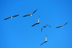 Flying pelicans. A flock of brown pelicans flying against a blue sky Stock Images