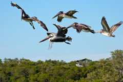 Flying pelicans Royalty Free Stock Photography
