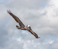 Flying Pelicans Royalty Free Stock Images