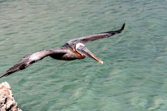 Flying Pelicans Royalty Free Stock Photo