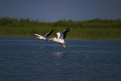 Flying Pelicans Stock Image