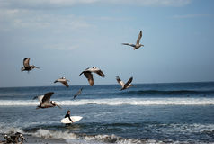 Flying pelicans. Photo of flying pelicans, Pacific Ocean, California, USA Stock Images