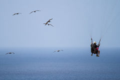 Flying with Pelicans Royalty Free Stock Photos