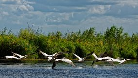 Flying pelicans. In the Danube Delta on sunny day stock photography