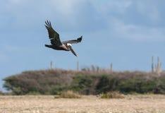 Flying Pelicans Stock Photos