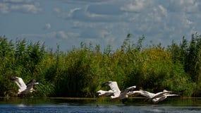 Flying pelicans. In the Danube Delta stock photos