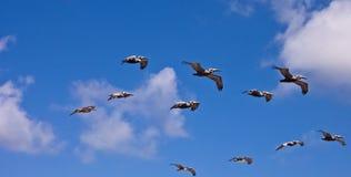 Flying Pelicans. Pelicans flying in the ocean breeze stock photography