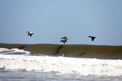 Flying pelicans. Pelicans flying over Atlantic coast of Florida royalty free stock images