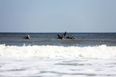 Flying pelicans. Pelicans flying over Atlantic coast of Florida stock images