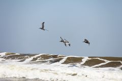 Flying pelicans. Pelicans flying over Atlantic coast of Florida stock photography