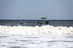 Flying pelicans. Pelicans flying over Atlantic coast of Florida royalty free stock image