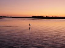 Flying pelicans. Red purple sky water sea sunset pelicans stock images