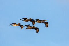 Flying Pelicans Royalty Free Stock Photos