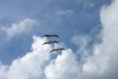 Flying pelicans. Three flying pelicans again blue cloudy sky stock photography