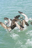 Flying pelicans vertical Stock Photography