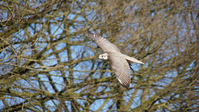 Flying peregrine falcon Royalty Free Stock Image