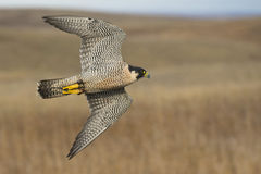 Flying Peregrine Falcon Royalty Free Stock Photos