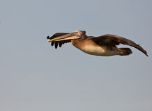 Flying Peruvian Pelican Royalty Free Stock Image