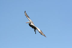 Flying Peruvian Pelican Royalty Free Stock Images