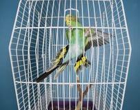 Flying Pet Bird Stock Photography